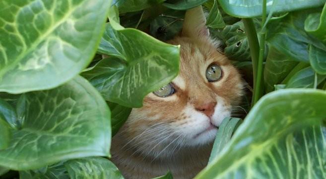 Gatto rosso carattere e personalit petpassion for Gatti con occhi diversi