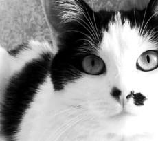 gatto-bianco-community-2