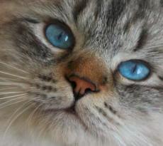 Cura e perdita pelo gatto