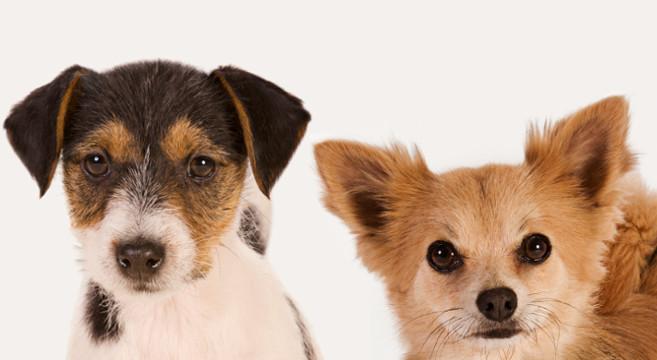 Cane di taglia piccola 5 cose da sapere su cibo e for Marsupio per cani di piccola taglia