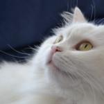 Il linguaggio del gatto: anche le orecchie parlano!