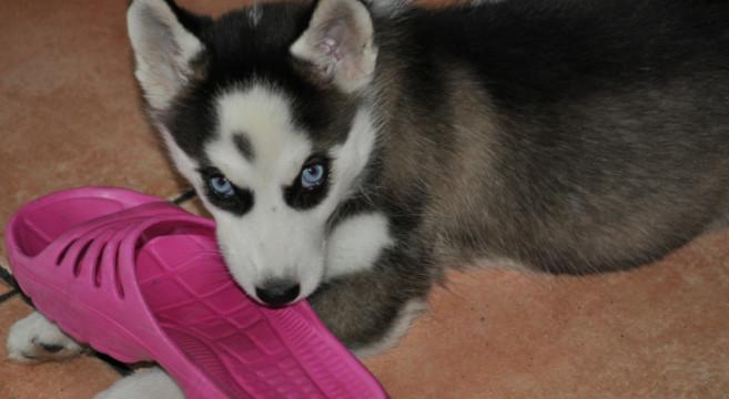 Perch il cane morde tutto petpassion blog - Educare il cane a non salire sul divano ...