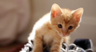 Video gattino ginger