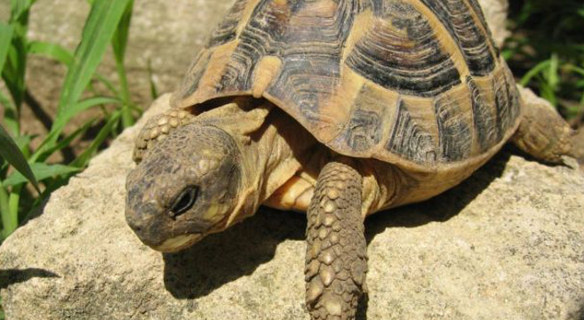 Tartaruga di for Tartaruga di terra maschio o femmina