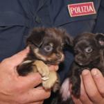 Traffico illegale di cuccioli di razza: la Polizia Stradale salva 49 cuccioli