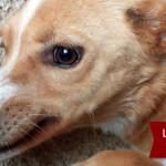 Adozione cagnolina taglia media a Roma: Demetra