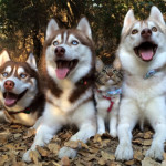 Storia di tre Siberian husky che hanno adottato un gatto [video]