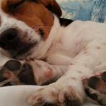 Perché i polpastrelli dei cani odorano di popcorn?