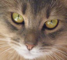 gatto-occhi