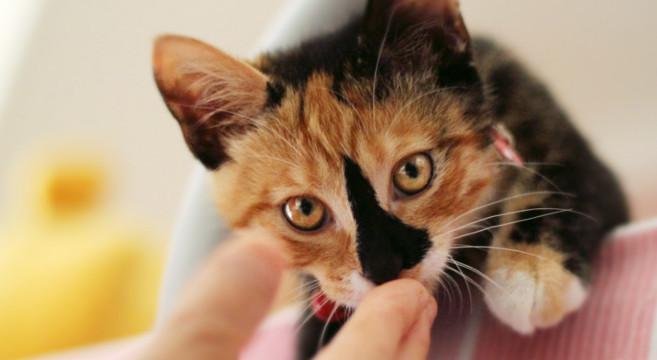 Risultati immagini per gatti tricolore