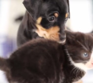 cuccioli-e-gattini