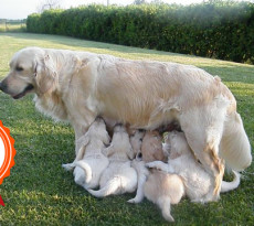 cuccioli-golden-retriever