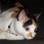 La dolcissima gatta tricolore che passeggia al guinzaglio