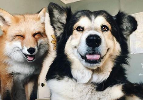 Cane e volpe amici