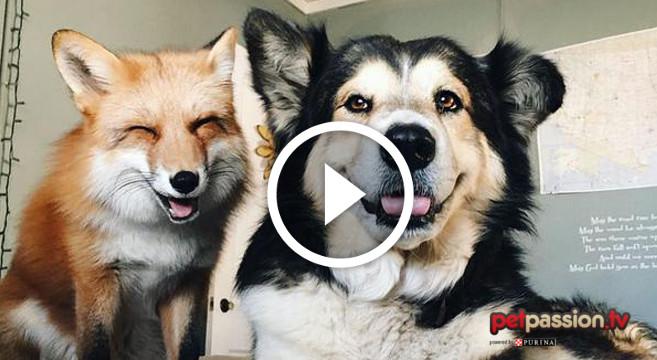 Il cane e la volpe: amici come nella favola Disney [video]