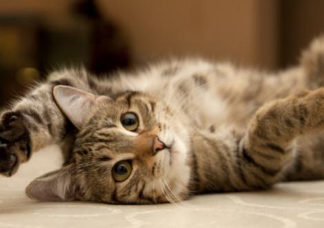 Curiosità gatto