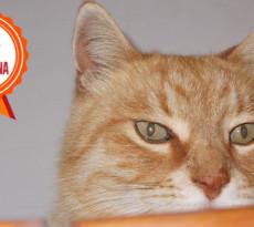 gatto-rosso