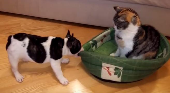 Un gatto, un cane e la cuccia contesa… [video divertente di animali]