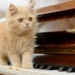 Udito del gatto e passione per la musica classica