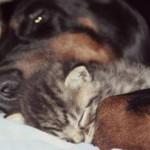 Storia del cane Dobermann che adotta e alleva trovatelli