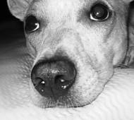 cane-sospira