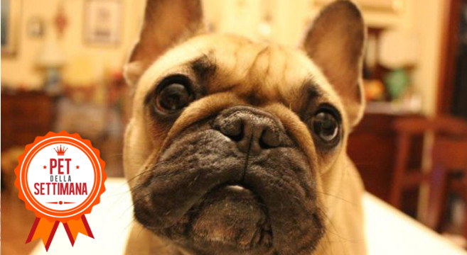 Cucciolo di bouledogue francese: foto e storia di Zelda