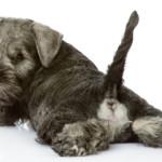 Cosa comunica il cane con la coda?