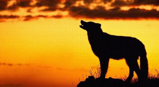 Perché il cane ulula? Tutti i cani sanno ululare?