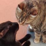 Accoppiamento gatti: come e quando