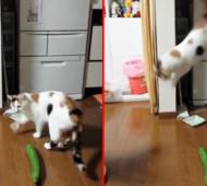 Gatti paura cetrioli video