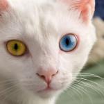 I gatti con gli occhi di colori diversi