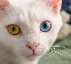 Manx i segreti del gatto senza coda petpassion - Occhi colori diversi ...