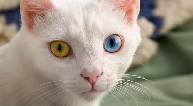 gatti con occhi di colore diverso petpassion