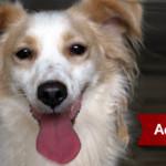 Piccolo cane mix volpino in adozione a Roma