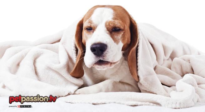 Il cane ha il raffreddore: sintomi e rimedi