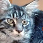 Storia di un gatto Maine Coon che arriva da lontano…