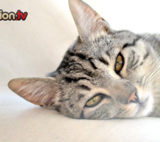 gatto-febbre