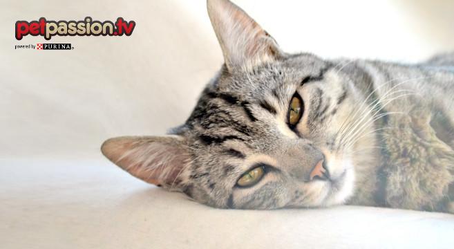 Sai cosa fare se il gatto ha la febbre?