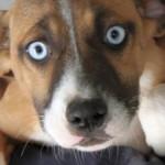 Cucciola dagli occhi color cielo in adozione a Roma