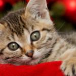 """Leggenda della """"emme"""" sulla fronte dei gatti tigrati"""