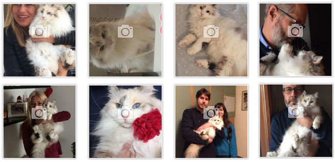 foto-gatto-siberiano