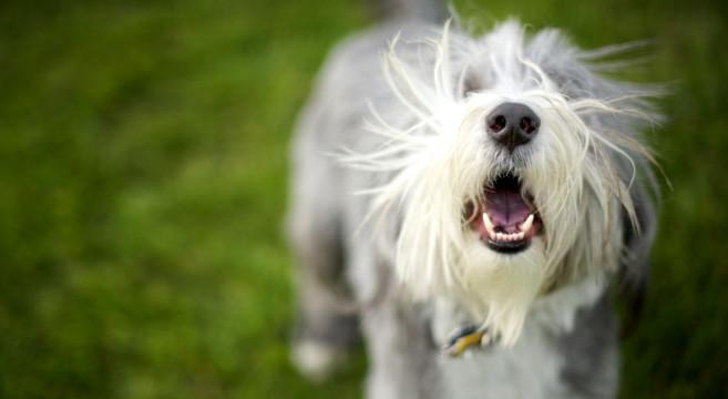 Perch i cani abbaiano petpassion - Perche i cani scavano sul divano ...