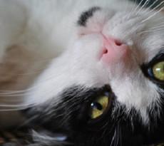 gatto-miagolio-significato