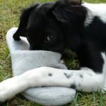 Perché il cane ruba scarpe e calzini e scappa?