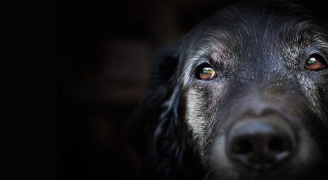 Problemi comportamentali del cane anziano