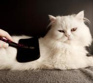 spazzolare-gatto