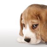 Il mio cane si sente in colpa quando lo sgrido?