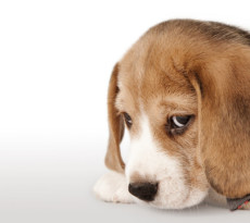 Il cane può sentirsi in colpa?