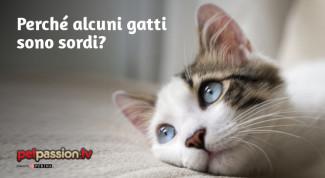 Gatto sordo