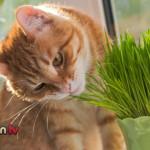 Sai perché al gatto piace l'erba gatta?